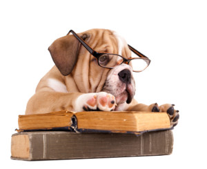 bulldog puppy reading book